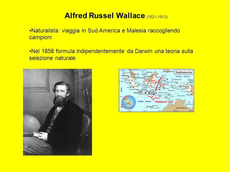 Alfred Russel Wallace (1821-1913) Naturalista: viaggia in Sud America e Malesia raccogliendo campioni Nel 1858 formula indipendentemente da Darwin una