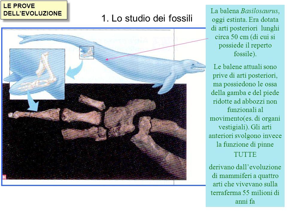 LE PROVE DELLEVOLUZIONE 1. Lo studio dei fossili La balena Basilosaurus, oggi estinta. Era dotata di arti posteriori lunghi circa 50 cm (di cui si pos