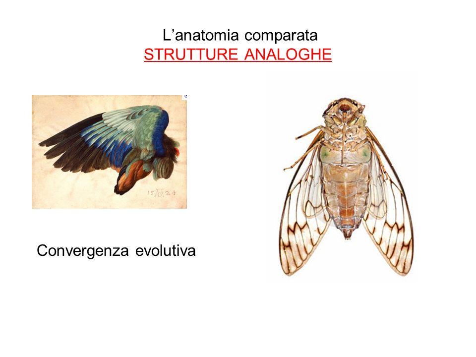 Lanatomia comparata STRUTTURE ANALOGHE Convergenza evolutiva