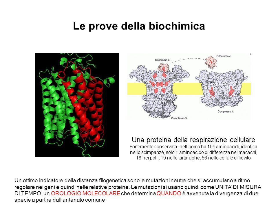 Le prove della biochimica Una proteina della respirazione cellulare Fortemente conservata: nelluomo ha 104 aminoacidi, identica nello scimpanzè, solo