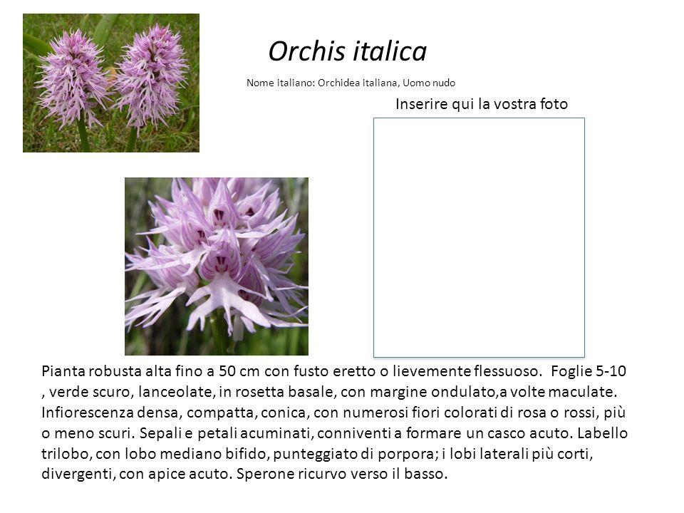 Orchis italica Inserire qui la vostra foto Nome italiano: Orchidea italiana, Uomo nudo Pianta robusta alta fino a 50 cm con fusto eretto o lievemente