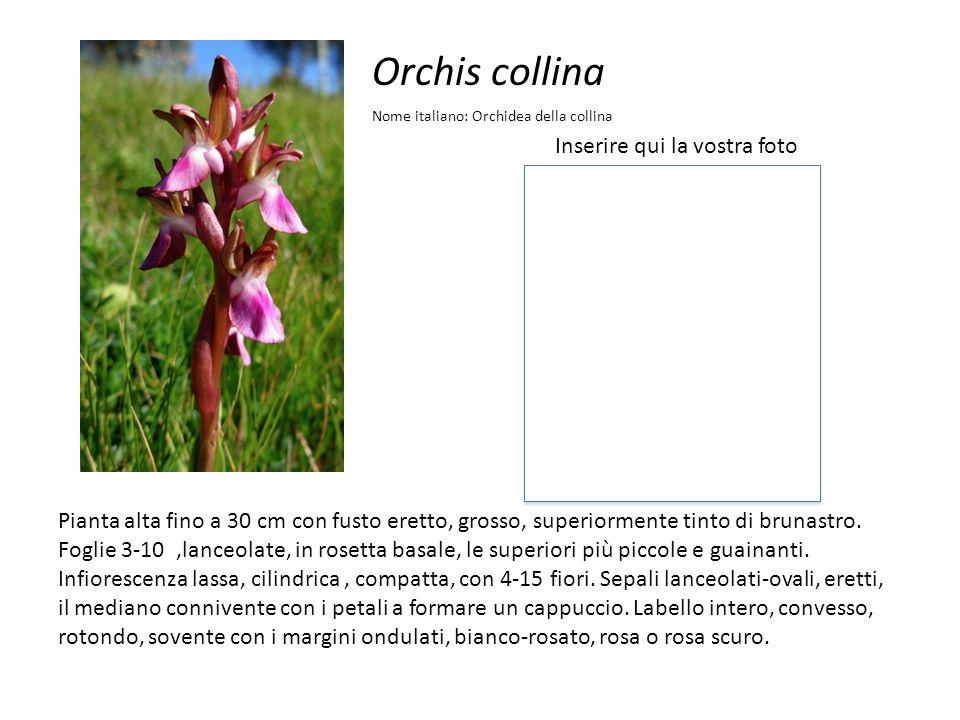 Orchis collina Inserire qui la vostra foto Nome italiano: Orchidea della collina Pianta alta fino a 30 cm con fusto eretto, grosso, superiormente tint