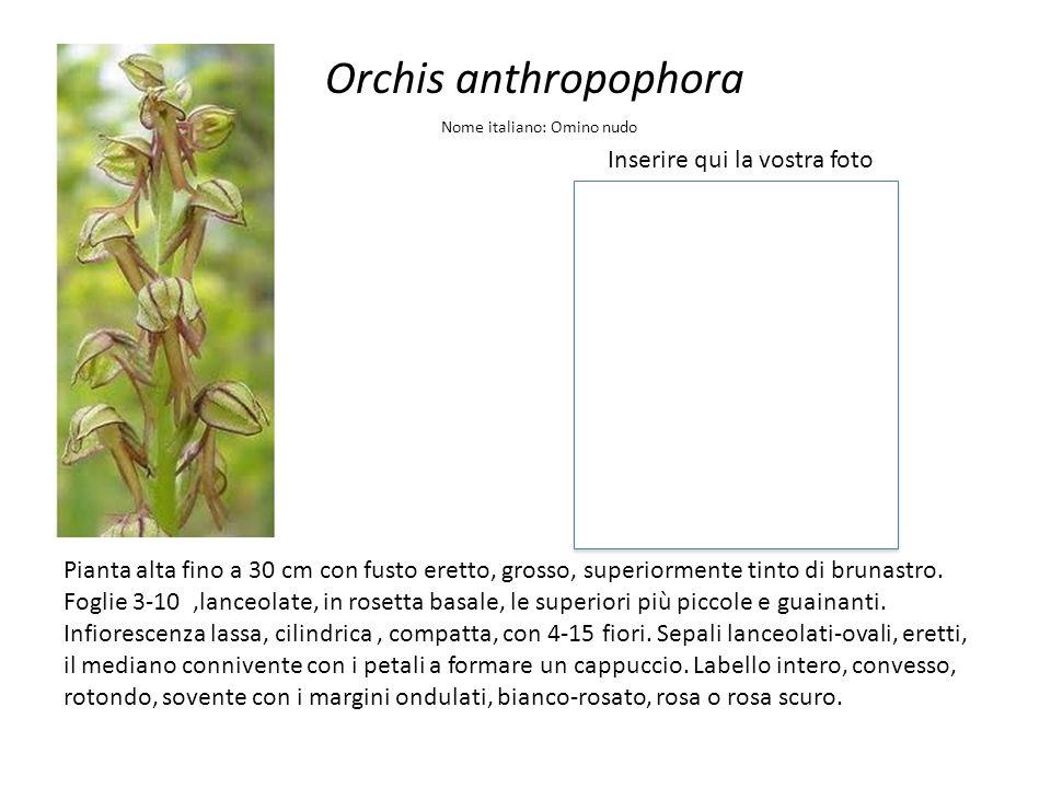 Orchis anthropophora Inserire qui la vostra foto Nome italiano: Omino nudo Pianta alta fino a 30 cm con fusto eretto, grosso, superiormente tinto di b