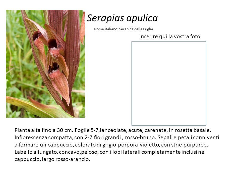 Serapias apulica Inserire qui la vostra foto Nome italiano: Serapide della Puglia Pianta alta fino a 30 cm. Foglie 5-7,lanceolate, acute, carenate, in