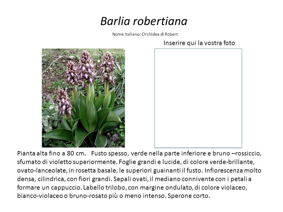 Barlia robertiana Inserire qui la vostra foto Nome italiano: Orchidea di Robert Pianta alta fino a 80 cm. Fusto spesso, verde nella parte inferiore e