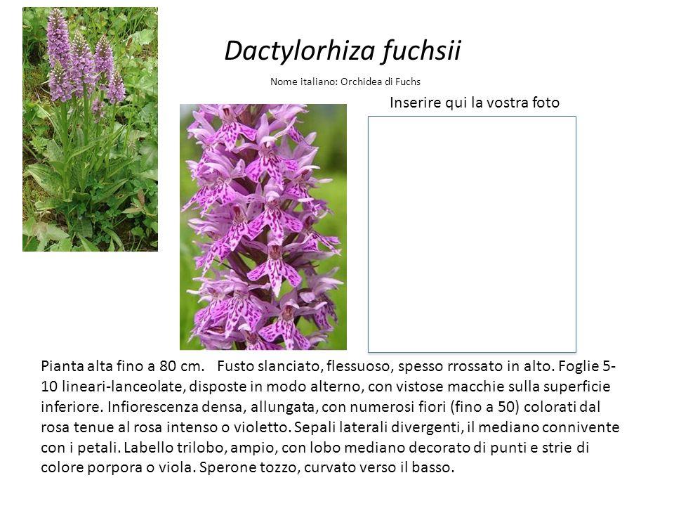 Dactylorhiza fuchsii Inserire qui la vostra foto Nome italiano: Orchidea di Fuchs Pianta alta fino a 80 cm. Fusto slanciato, flessuoso, spesso rrossat