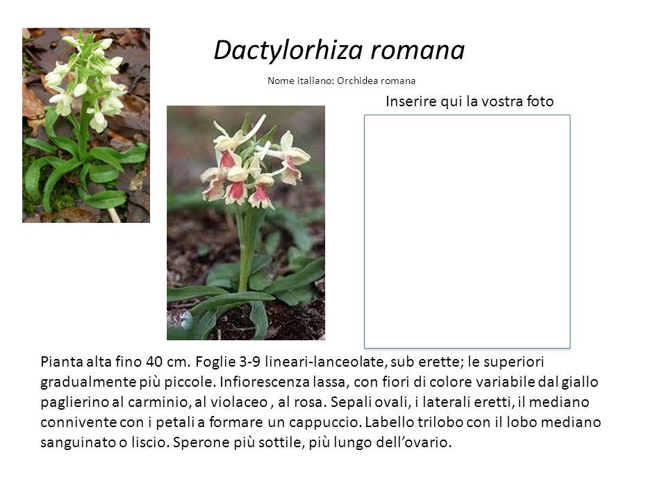 Dactylorhiza romana Inserire qui la vostra foto Nome italiano: Orchidea romana Pianta alta fino 40 cm. Foglie 3-9 lineari-lanceolate, sub erette; le s