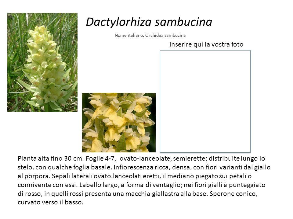 Dactylorhiza sambucina Inserire qui la vostra foto Nome italiano: Orchidea sambucina Pianta alta fino 30 cm. Foglie 4-7, ovato-lanceolate, semierette;