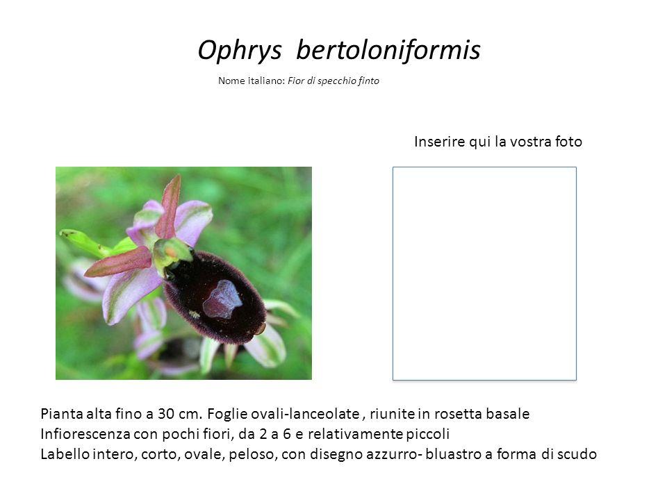 Ophrys bertoloniformis Inserire qui la vostra foto Nome italiano: Fior di specchio finto Pianta alta fino a 30 cm. Foglie ovali-lanceolate, riunite in