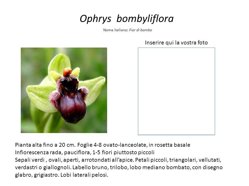 Ophrys bombyliflora Inserire qui la vostra foto Nome italiano: Fior di bombo Pianta alta fino a 20 cm. Foglie 4-8 ovato-lanceolate, in rosetta basale