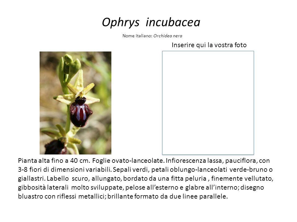 Ophrys incubacea Inserire qui la vostra foto Nome italiano: Orchidea nera Pianta alta fino a 40 cm. Foglie ovato-lanceolate. Infiorescenza lassa, pauc