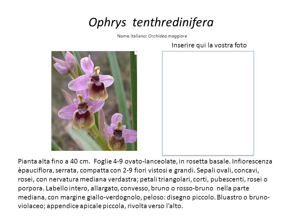 Ophrys tenthredinifera Inserire qui la vostra foto Nome italiano: Orchidea maggiore Pianta alta fino a 40 cm. Foglie 4-9 ovato-lanceolate, in rosetta