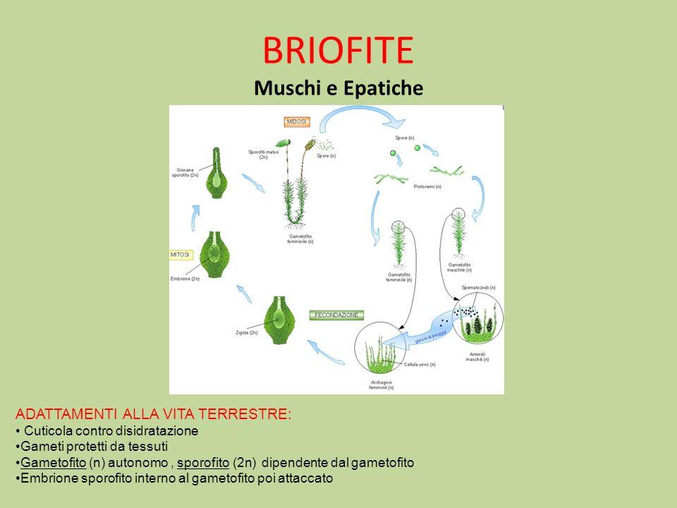BRIOFITE Muschi e Epatiche ADATTAMENTI ALLA VITA TERRESTRE: Cuticola contro disidratazione Gameti protetti da tessuti Gametofito (n) autonomo, sporofi