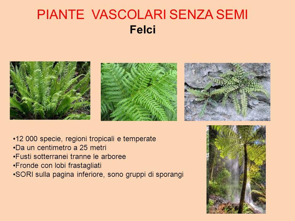 PIANTE VASCOLARI SENZA SEMI Felci 12 000 specie, regioni tropicali e temperate Da un centimetro a 25 metri Fusti sotterranei tranne le arboree Fronde