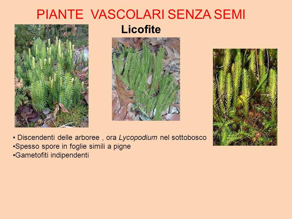 PIANTE VASCOLARI SENZA SEMI Licofite Discendenti delle arboree, ora Lycopodium nel sottobosco Spesso spore in foglie simili a pigne Gametofiti indipendenti
