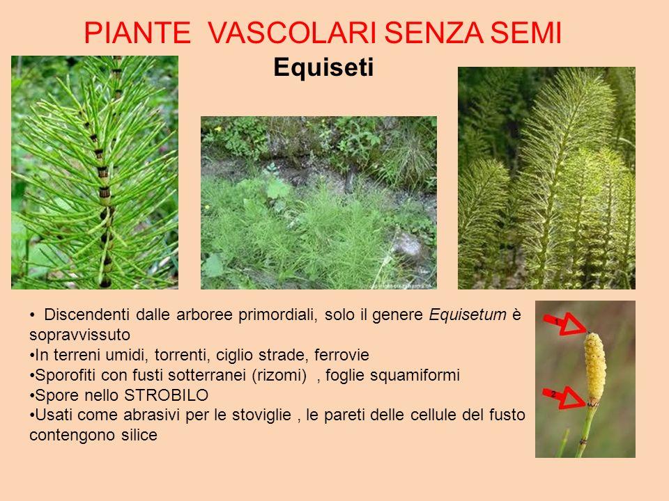 PIANTE VASCOLARI SENZA SEMI Equiseti Discendenti dalle arboree primordiali, solo il genere Equisetum è sopravvissuto In terreni umidi, torrenti, cigli