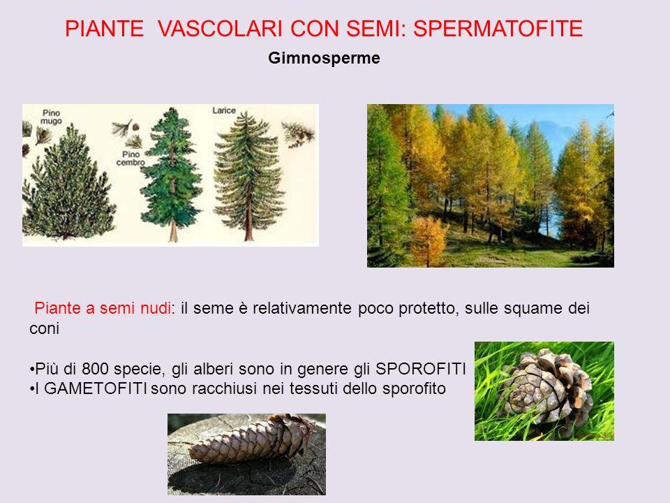 PIANTE VASCOLARI CON SEMI: SPERMATOFITE Gimnosperme Piante a semi nudi: il seme è relativamente poco protetto, sulle squame dei coni Più di 800 specie
