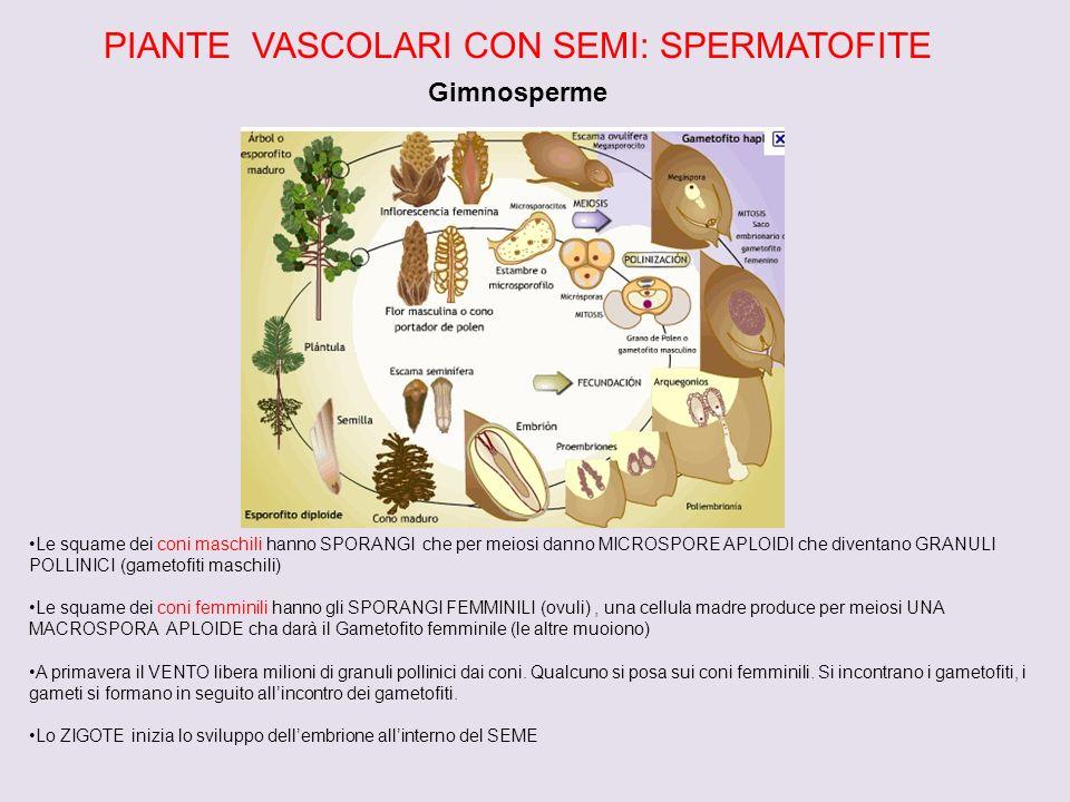PIANTE VASCOLARI CON SEMI: SPERMATOFITE Gimnosperme Le squame dei coni maschili hanno SPORANGI che per meiosi danno MICROSPORE APLOIDI che diventano GRANULI POLLINICI (gametofiti maschili) Le squame dei coni femminili hanno gli SPORANGI FEMMINILI (ovuli), una cellula madre produce per meiosi UNA MACROSPORA APLOIDE cha darà il Gametofito femminile (le altre muoiono) A primavera il VENTO libera milioni di granuli pollinici dai coni.