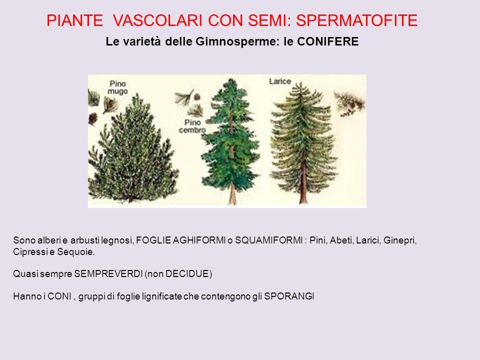 PIANTE VASCOLARI CON SEMI: SPERMATOFITE Le varietà delle Gimnosperme: le CONIFERE Sono alberi e arbusti legnosi, FOGLIE AGHIFORMI o SQUAMIFORMI : Pini, Abeti, Larici, Ginepri, Cipressi e Sequoie.