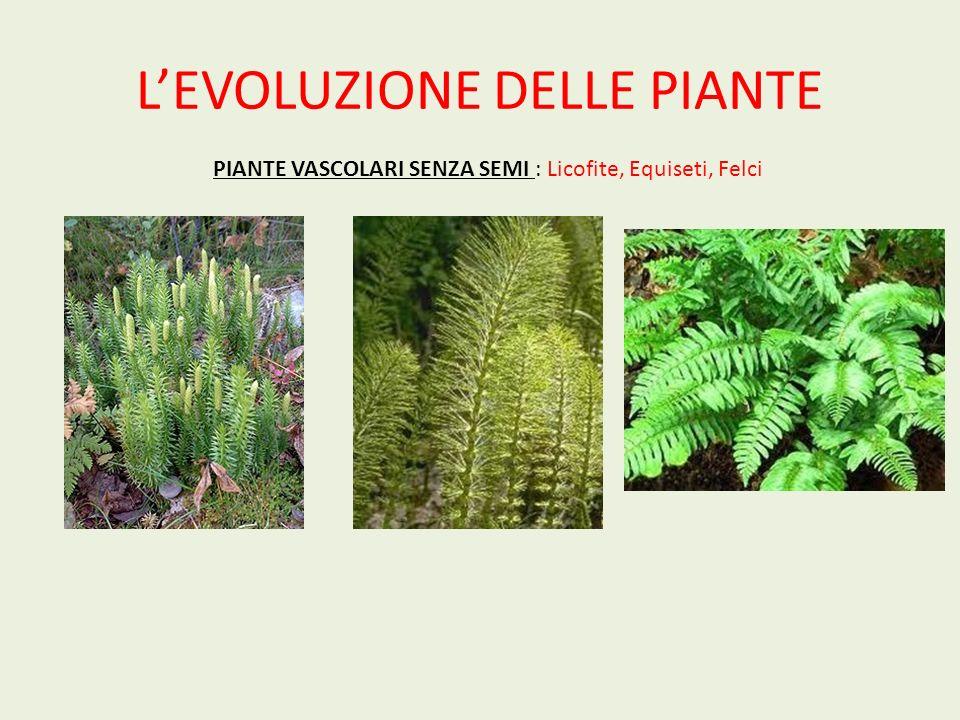 LEVOLUZIONE DELLE PIANTE PIANTE VASCOLARI CON SEMI (SPERMATOFITE) GIMNOSPERME A semi nudi, le conifere, le cicadofite