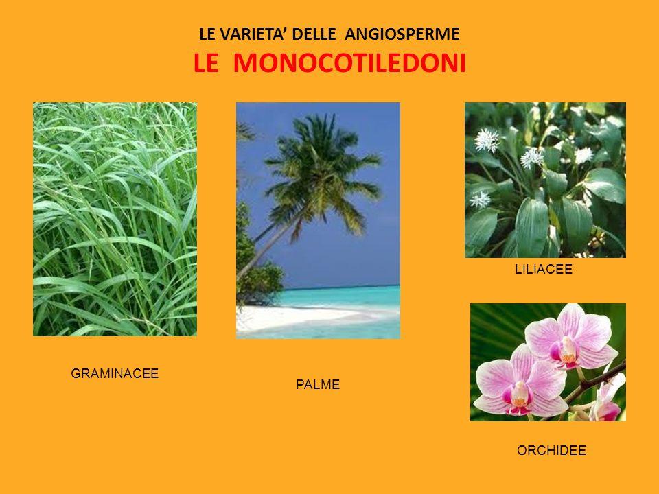 LE VARIETA DELLE ANGIOSPERME LE MONOCOTILEDONI GRAMINACEE PALME LILIACEE ORCHIDEE