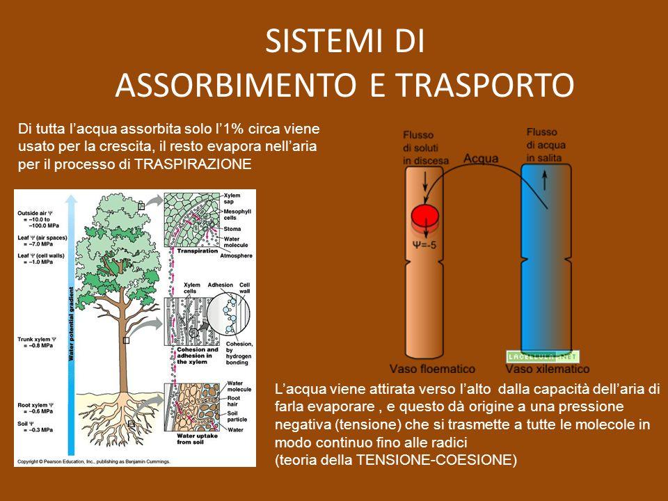 Di tutta lacqua assorbita solo l1% circa viene usato per la crescita, il resto evapora nellaria per il processo di TRASPIRAZIONE Lacqua viene attirata
