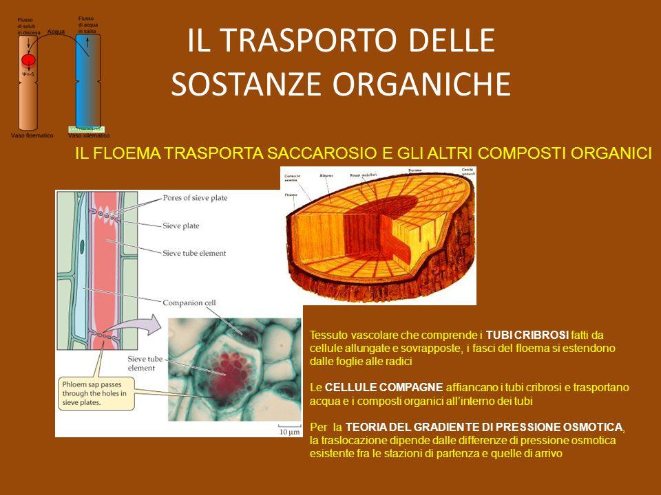 IL TRASPORTO DELLE SOSTANZE ORGANICHE IL FLOEMA TRASPORTA SACCAROSIO E GLI ALTRI COMPOSTI ORGANICI Tessuto vascolare che comprende i TUBI CRIBROSI fatti da cellule allungate e sovrapposte, i fasci del floema si estendono dalle foglie alle radici Le CELLULE COMPAGNE affiancano i tubi cribrosi e trasportano acqua e i composti organici allinterno dei tubi Per la TEORIA DEL GRADIENTE DI PRESSIONE OSMOTICA, la traslocazione dipende dalle differenze di pressione osmotica esistente fra le stazioni di partenza e quelle di arrivo