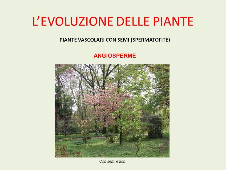 LEVOLUZIONE DELLE PIANTE PIANTE VASCOLARI CON SEMI (SPERMATOFITE) ANGIOSPERME Con semi e fiori