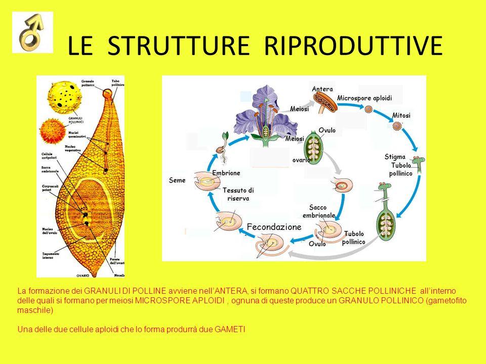 LE STRUTTURE RIPRODUTTIVE La pianta che comunemente osserviamo è lo SPOROFITO La formazione dei GRANULI DI POLLINE avviene nellANTERA, si formano QUATTRO SACCHE POLLINICHE allinterno delle quali si formano per meiosi MICROSPORE APLOIDI, ognuna di queste produce un GRANULO POLLINICO (gametofito maschile) Una delle due cellule aploidi che lo forma produrrà due GAMETI