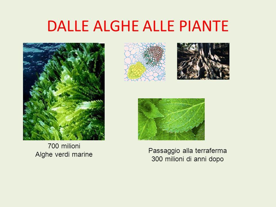 DALLE ALGHE ALLE PIANTE 700 milioni Alghe verdi marine Passaggio alla terraferma 300 milioni di anni dopo