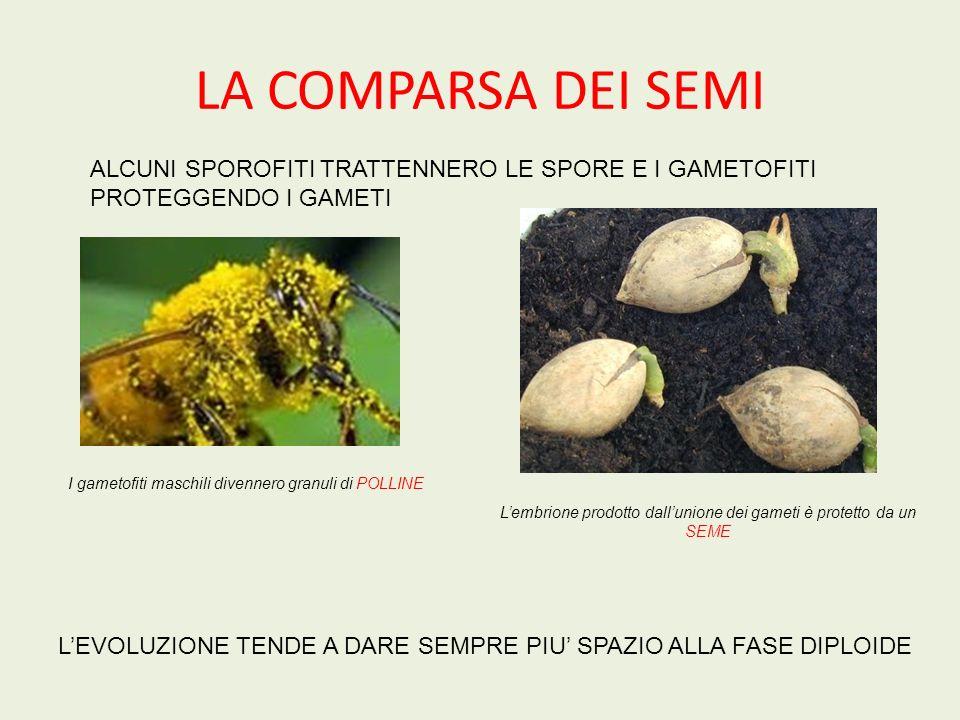 PIANTE VASCOLARI CON SEMI: SPERMATOFITE Altre Gimnosperme: il Cicas e il Ginko biloba