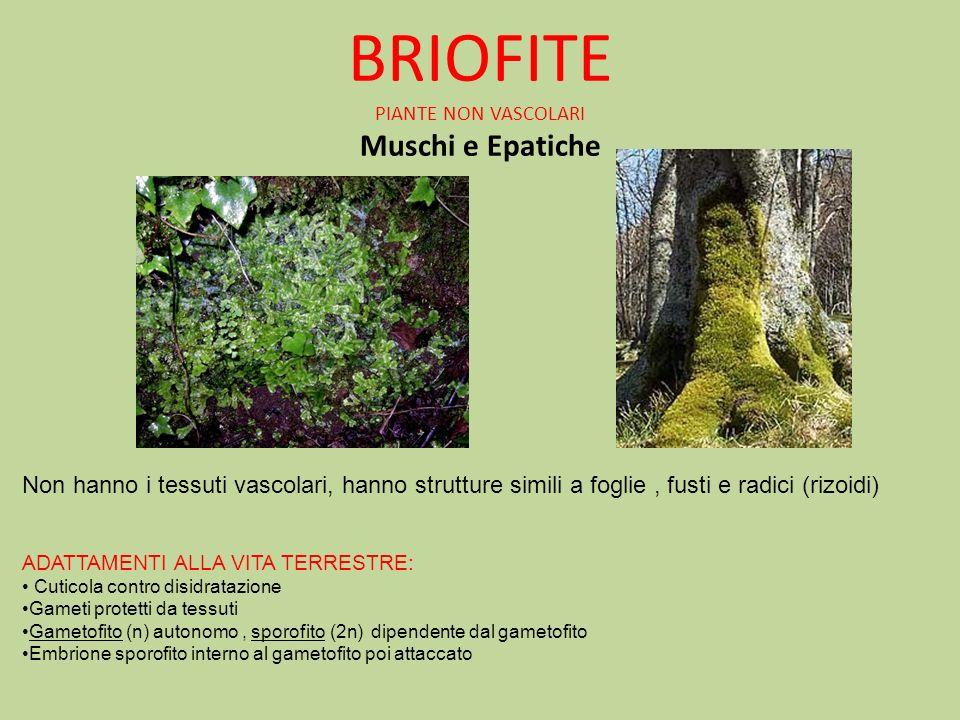 BRIOFITE PIANTE NON VASCOLARI Muschi e Epatiche Non hanno i tessuti vascolari, hanno strutture simili a foglie, fusti e radici (rizoidi) ADATTAMENTI A