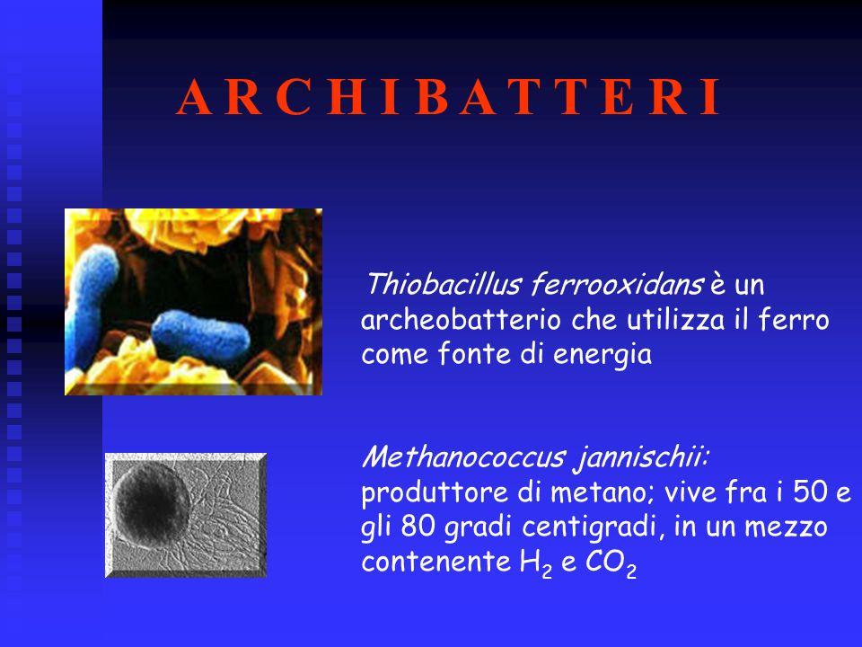 Thiobacillus ferrooxidans è un archeobatterio che utilizza il ferro come fonte di energia Methanococcus jannischii: produttore di metano; vive fra i 5