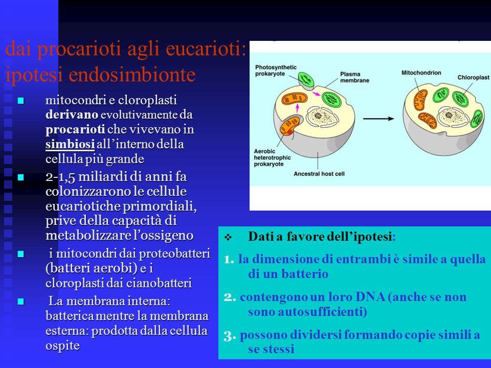 mitocondri e cloroplasti derivano evolutivamente da procarioti che vivevano in simbiosi allinterno della cellula più grande mitocondri e cloroplasti d