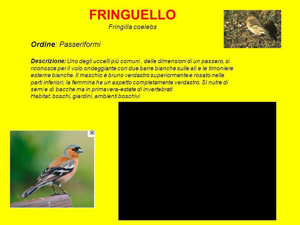 FRINGUELLO Fringilla coelebs Ordine: Passeriformi Descrizione: Uno degli uccelli più comuni, delle dimensioni di un passero, si riconosce per il volo ondeggiante con due barre bianche sulle ali e le timoniere esterne bianche.