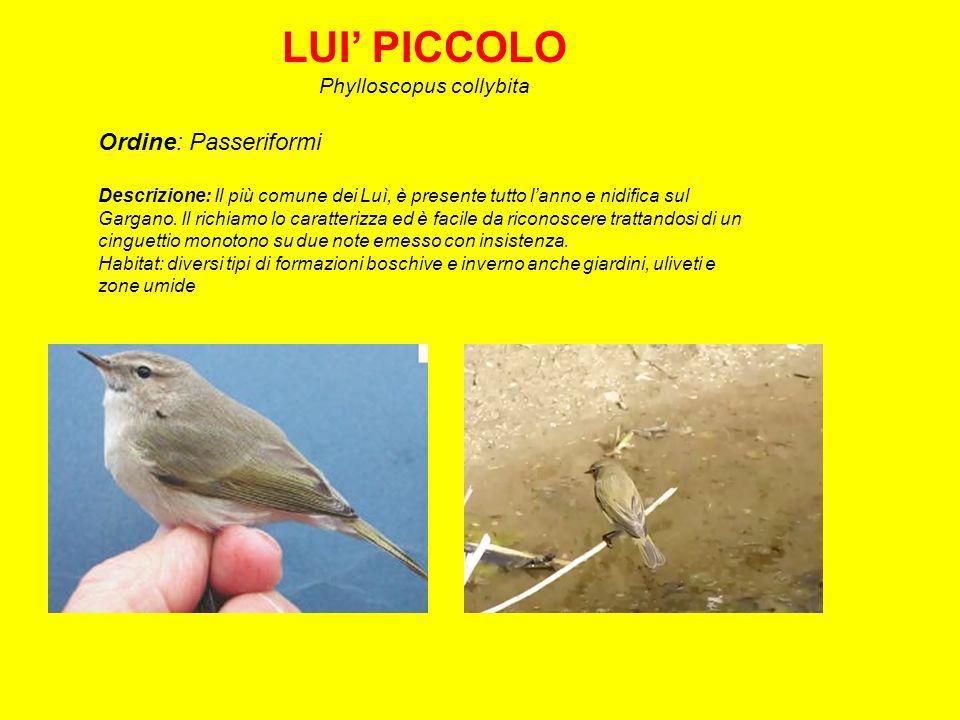 LUI PICCOLO Phylloscopus collybita Ordine: Passeriformi Descrizione: Il più comune dei Luì, è presente tutto lanno e nidifica sul Gargano.