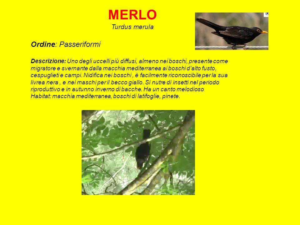 MERLO Turdus merula Ordine: Passeriformi Descrizione: Uno degli uccelli più diffusi, almeno nei boschi, presente come migratore e svernante dalla macchia mediterranea ai boschi dalto fusto, cespuglieti e campi.