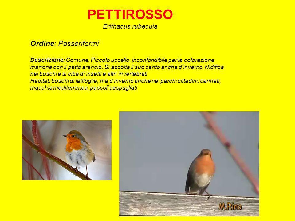 PETTIROSSO Erithacus rubecula Ordine: Passeriformi Descrizione: Comune.