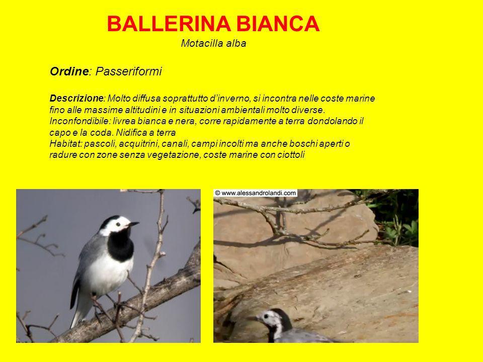 BALLERINA BIANCA Motacilla alba Ordine: Passeriformi Descrizione: Molto diffusa soprattutto dinverno, si incontra nelle coste marine fino alle massime altitudini e in situazioni ambientali molto diverse.