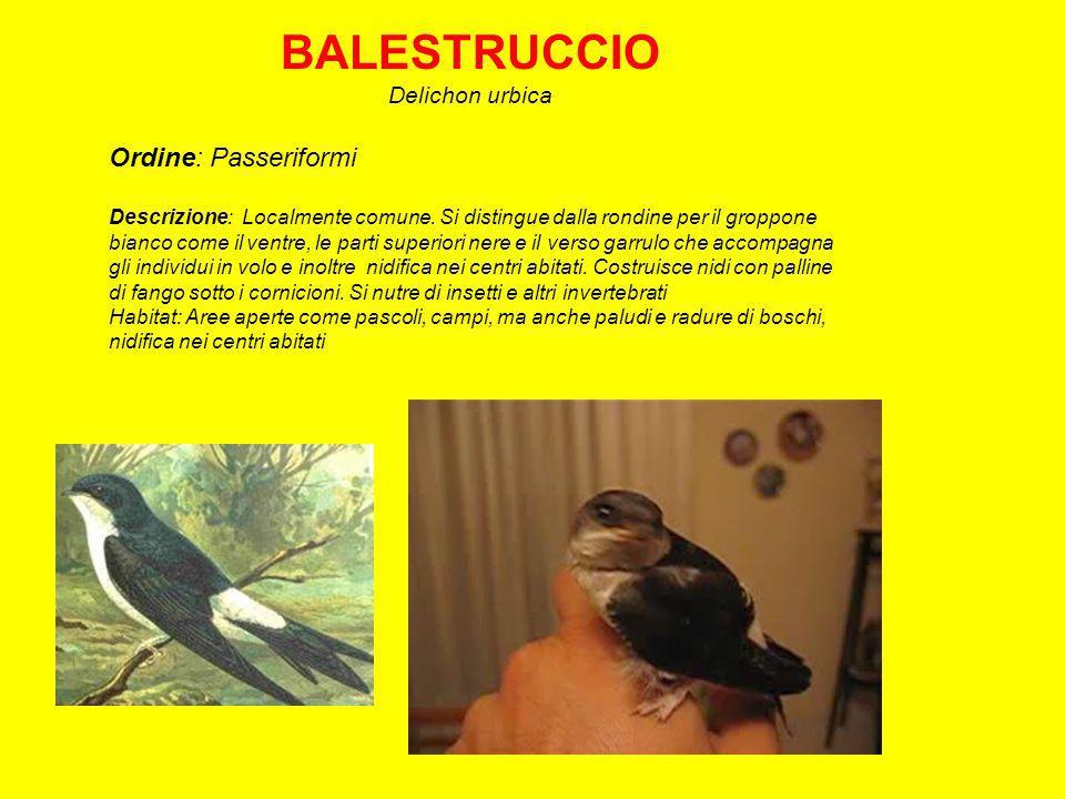 BALESTRUCCIO Delichon urbica Ordine: Passeriformi Descrizione: Localmente comune.