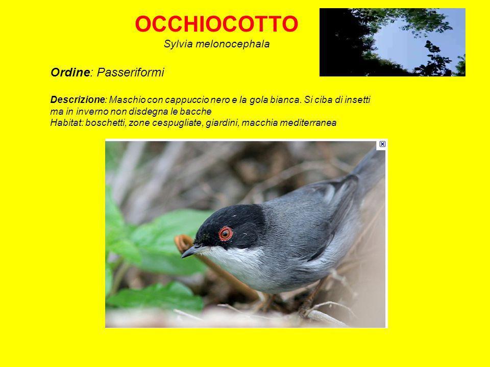 OCCHIOCOTTO Sylvia melonocephala Ordine: Passeriformi Descrizione: Maschio con cappuccio nero e la gola bianca.