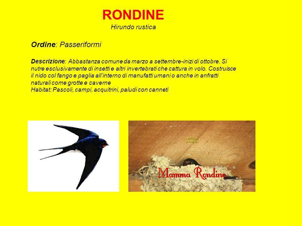 RONDINE Hirundo rustica Ordine: Passeriformi Descrizione: Abbastanza comune da marzo a settembre-inizi di ottobre.