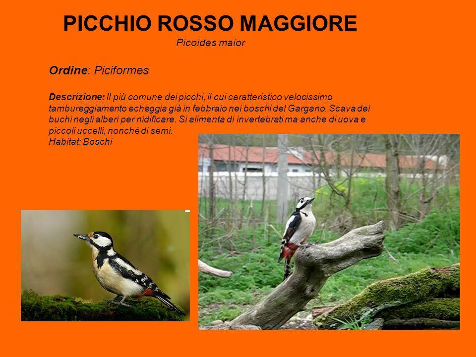 PICCHIO ROSSO MAGGIORE Picoides maior Ordine: Piciformes Descrizione: Il più comune dei picchi, il cui caratteristico velocissimo tambureggiamento echeggia già in febbraio nei boschi del Gargano.