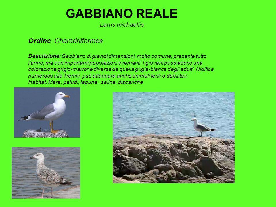 GABBIANO REALE Larus michaellis Ordine: Charadriiformes Descrizione: Gabbiano di grandi dimensioni, molto comune, presente tutto lanno, ma con importanti popolazioni svernanti.