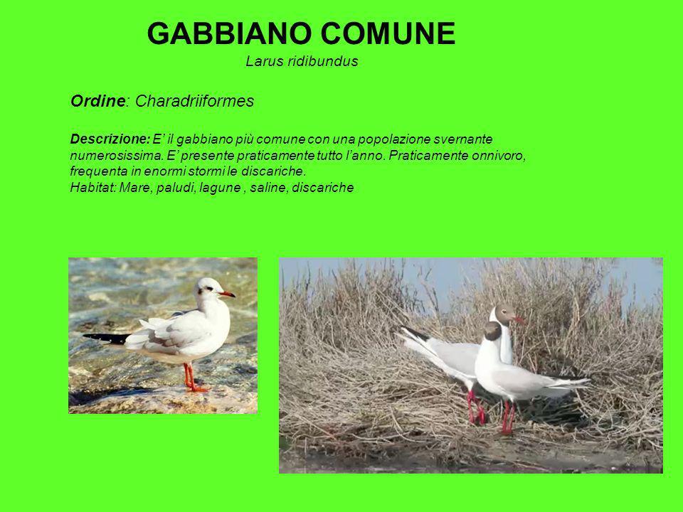 GABBIANO COMUNE Larus ridibundus Ordine: Charadriiformes Descrizione: E il gabbiano più comune con una popolazione svernante numerosissima.