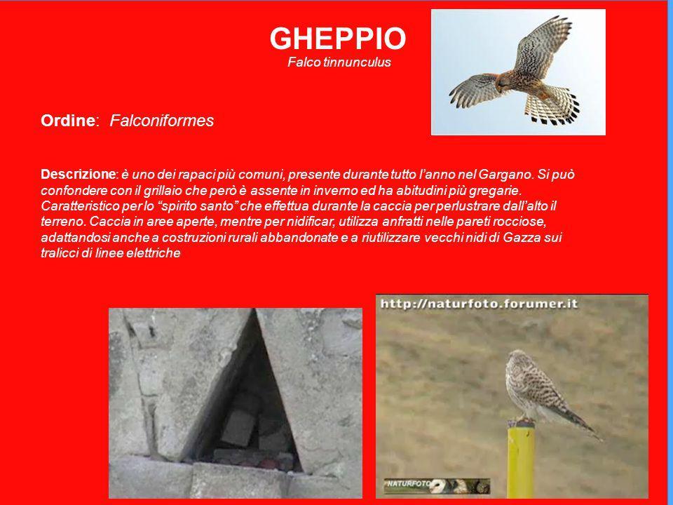GHEPPIO Falco tinnunculus Ordine: Falconiformes Descrizione: è uno dei rapaci più comuni, presente durante tutto lanno nel Gargano.
