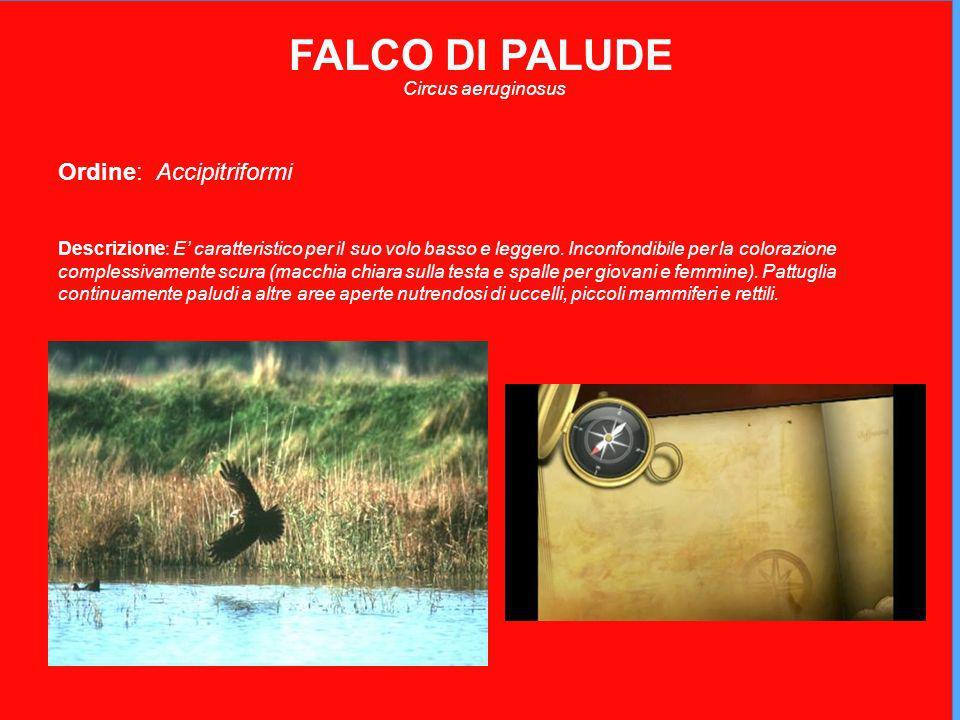 FALCO DI PALUDE Circus aeruginosus Ordine: Accipitriformi Descrizione: E caratteristico per il suo volo basso e leggero.