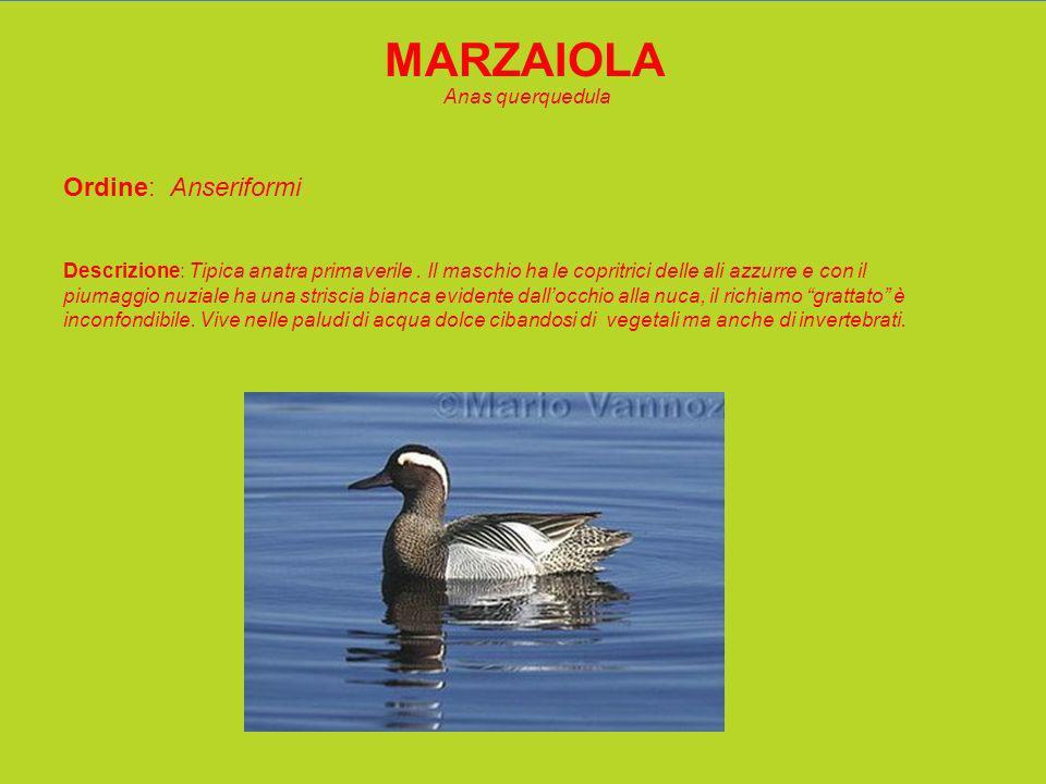 MARZAIOLA Anas querquedula Ordine: Anseriformi Descrizione: Tipica anatra primaverile.