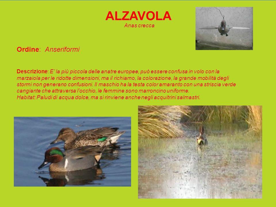 ALZAVOLA Anas crecca Ordine: Anseriformi Descrizione: E la più piccola delle anatre europee, può essere confusa in volo con la marzaiola per le ridotte dimensioni, ma il richiamo, la colorazione, la grande mobilità degli stormi non generano confusioni.