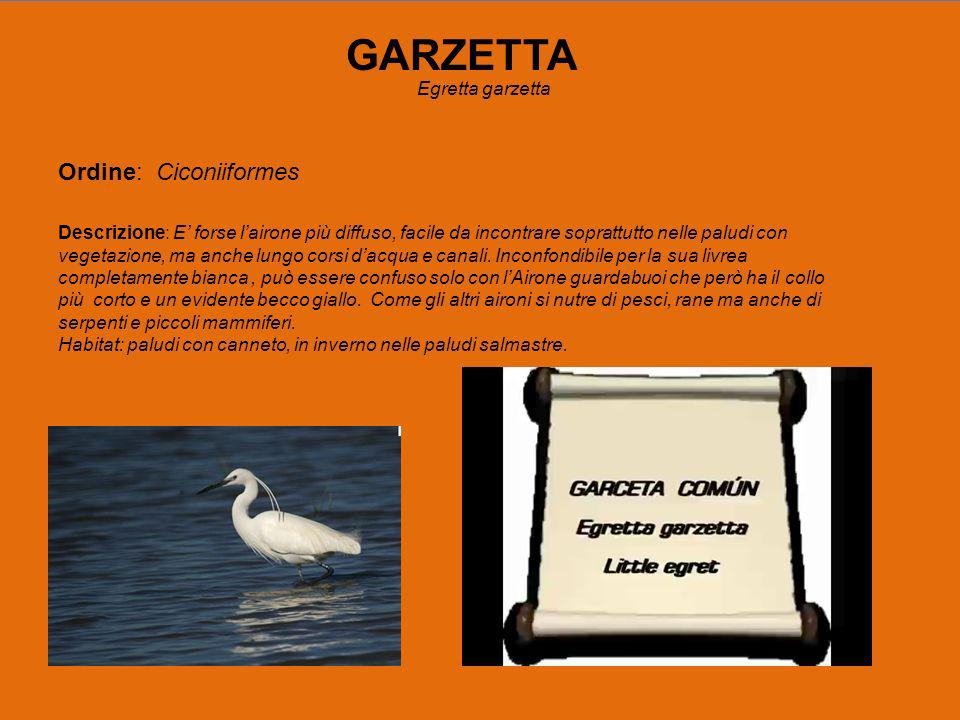 GARZETTA Egretta garzetta Ordine: Ciconiiformes Descrizione: E forse lairone più diffuso, facile da incontrare soprattutto nelle paludi con vegetazione, ma anche lungo corsi dacqua e canali.